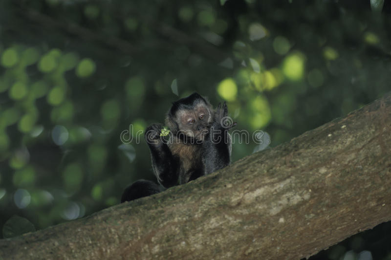 Brown Capuchin monkey. Brown Capuchin (Cebus apella). This South-American monkey is found east of the Andes from Colombia and Venezuela to Paraguay and northern royalty free stock image