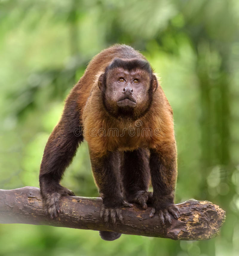 Brown capuchin monkey. Closeup portrait of brown capuchin monkey standing on a tree branch royalty free stock images