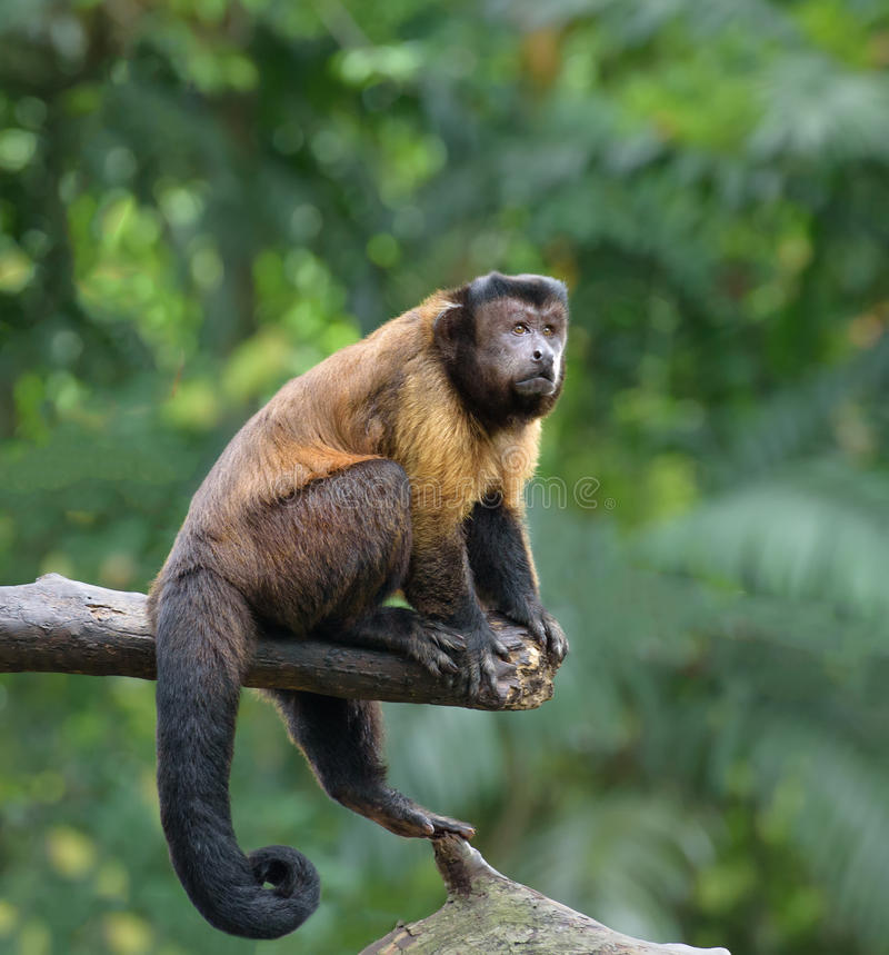Brown capuchin monkey. Sitting on a tree in rainforest stock images