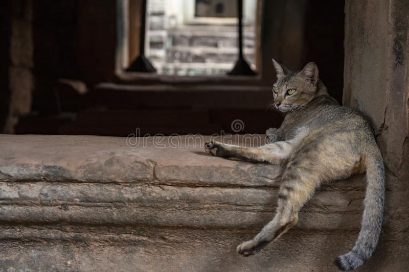 Brown cat in ancient temple, Angkor Wat, Cambodia. Lazy cat resting on historical building. Angkor Wat tourist photo. Brown cat resting in ancient temple, Angkor stock photos