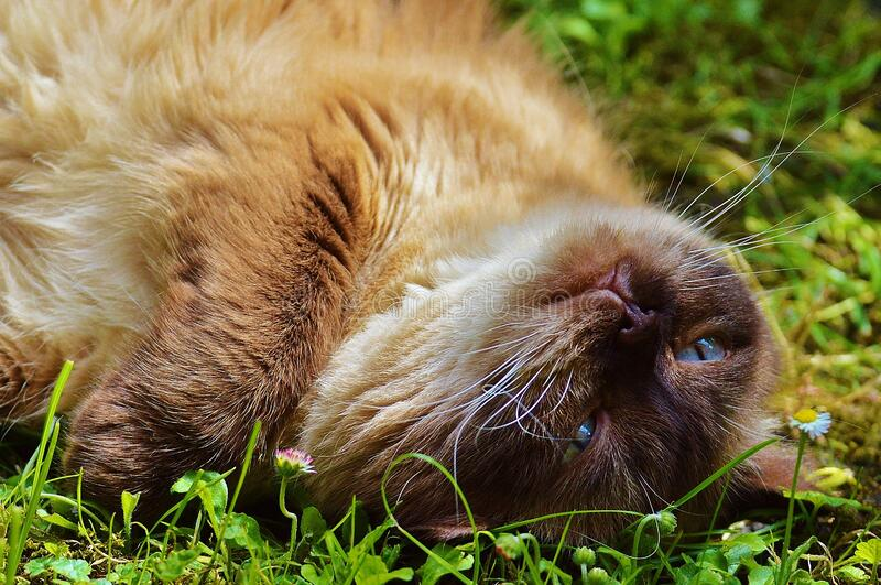 Brown cat with blue eyes on the grass royalty free stock image
