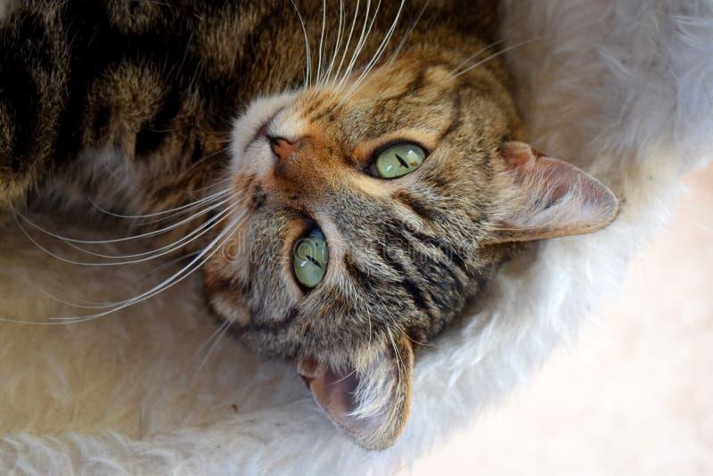 Brown Cat on Fur Mat stock photo