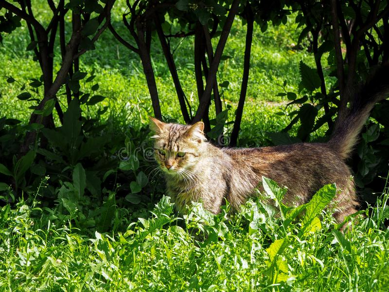 Brown cat with the green eyes is walking in the park in the green grass royalty free stock photography