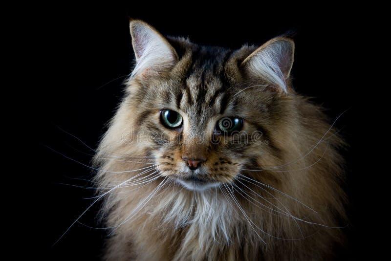 Brown cat head portrait. Brown cat studio portrait on black background head portrait stock images