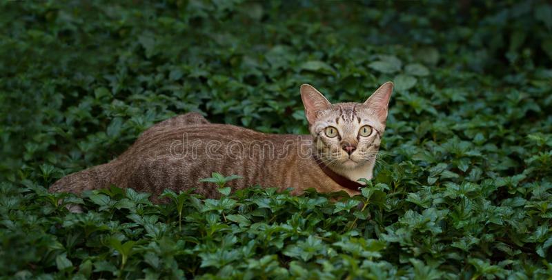 Brown cat, hunter ambush prey in nature background royalty free stock photography