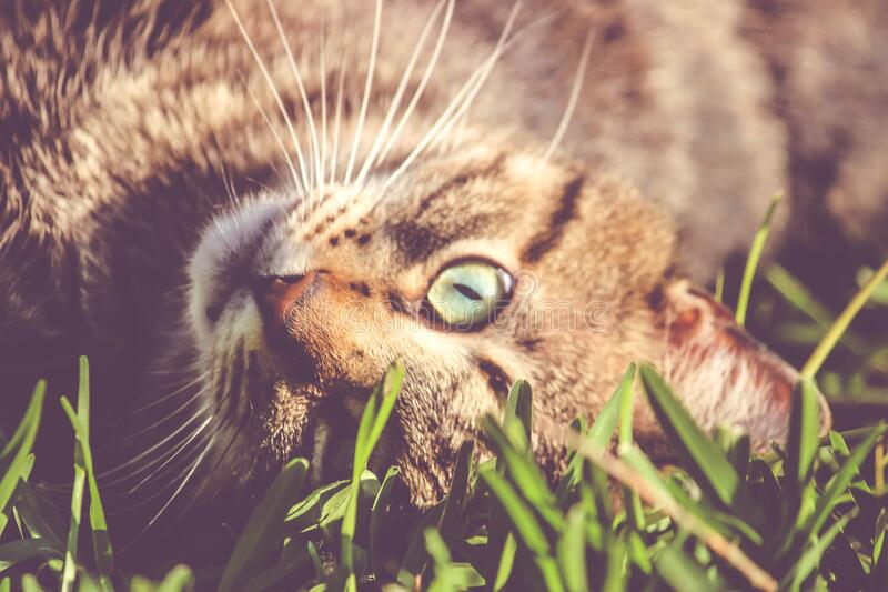 Brown Cat Laying on Grass stock photo