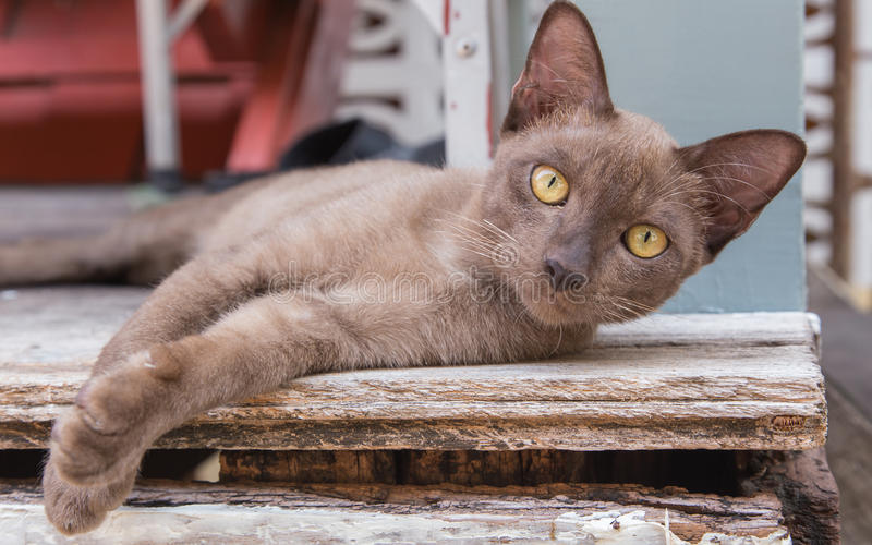 Brown cat lying on a wooden floor. Brown cat lying on the wooden floor, outdoor background blurred close up playful cats, cats, relaxing vacation stock image