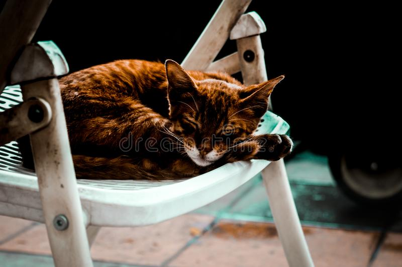 The brown cat royalty free stock photo