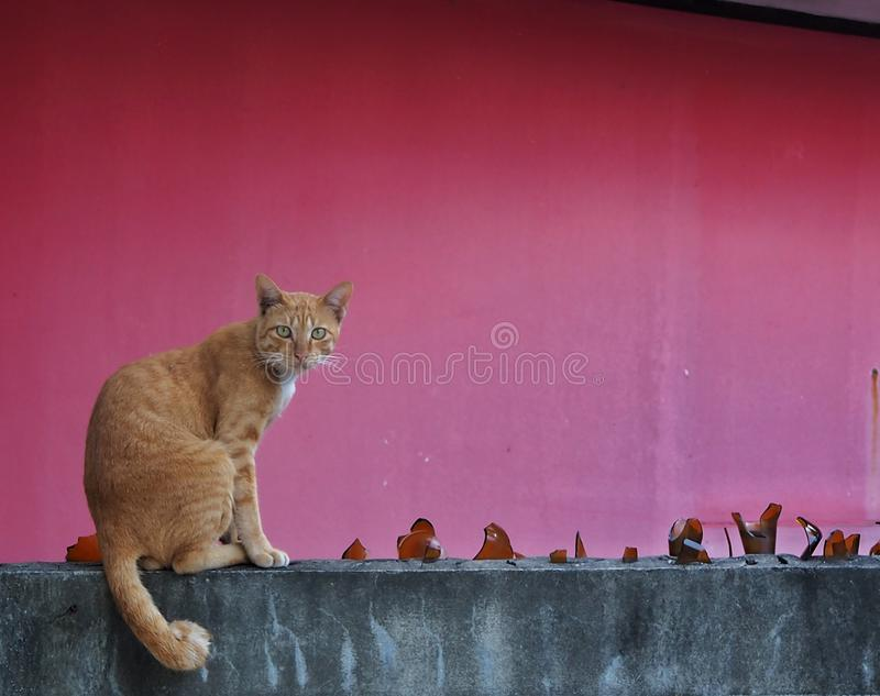 Brown cat sitting on the wall and red background.It's looking somthing. stock image