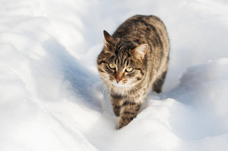 Brown cat walking in the snow royalty free stock image