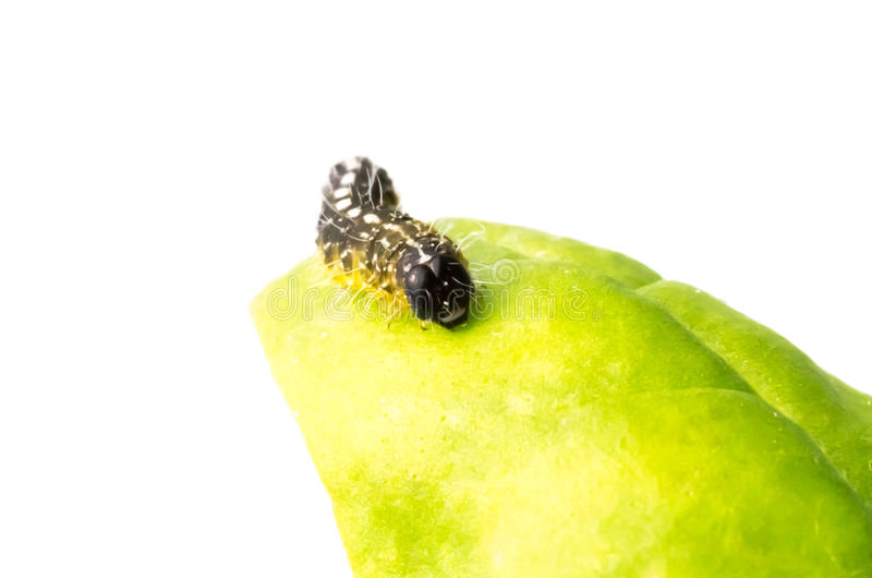 Brown caterpillar on the surface of a leaf. Brown caterpillar, the juvenile larval stage of lepidoptera - moths and butterflies - on the surface of a leaf on royalty free stock photo