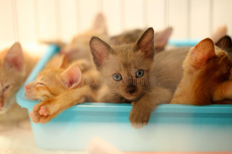 Brown cats kittens looking in the blue box . royalty free stock images