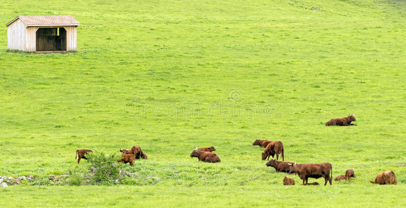 brown cattle and empty feed bin stock photo