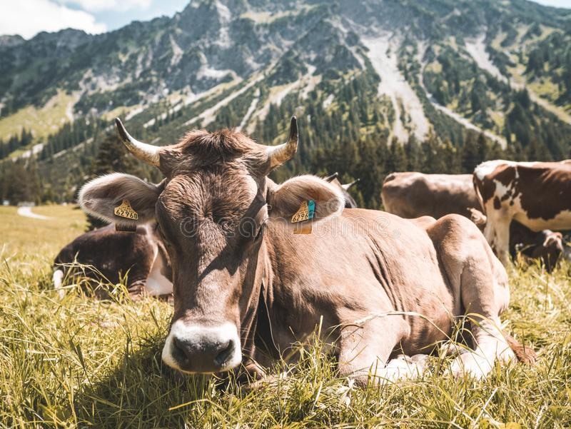 Brown Cattle on Grass at Daytime royalty free stock images