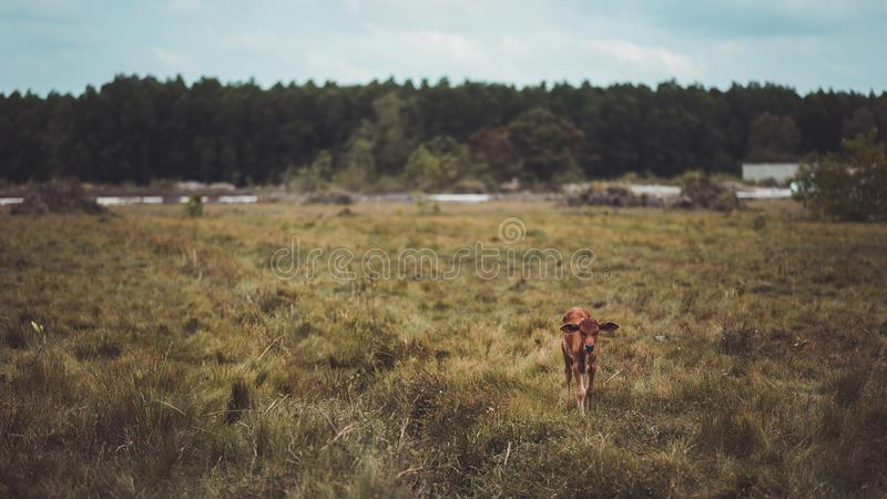 Brown Cattle in the Middle of Field royalty free stock photo