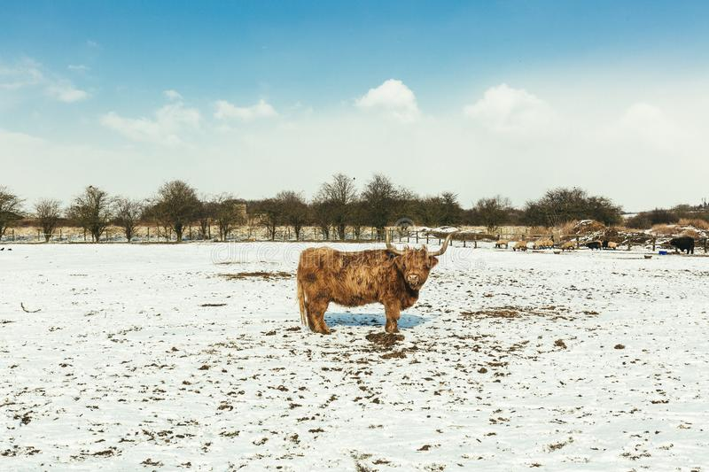 Brown Cattle on White Snow stock photo