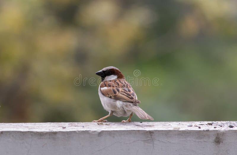Brown cenary bird stock images