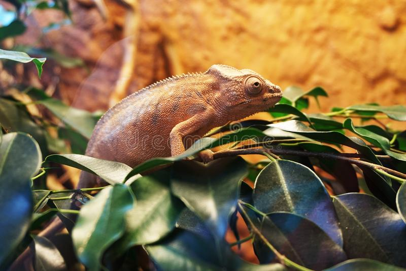 brown chameleon as very nice animal stock photo