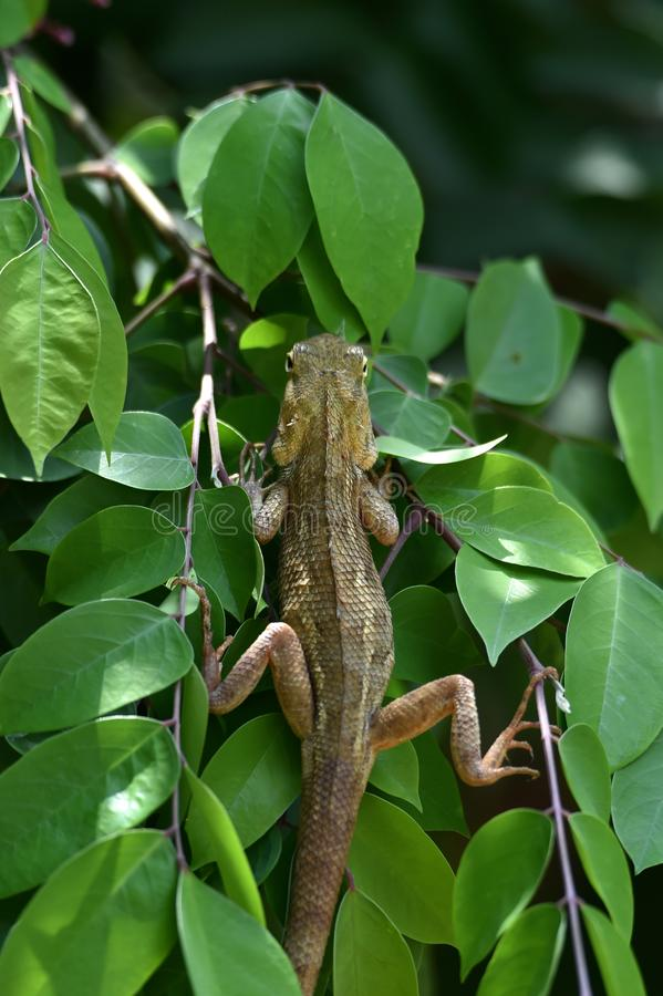 Brown chameleon on the star fruit tree stock photos