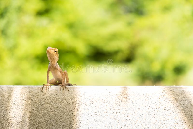 Brown chameleon is on the wall near forest, it looking for food stock photos