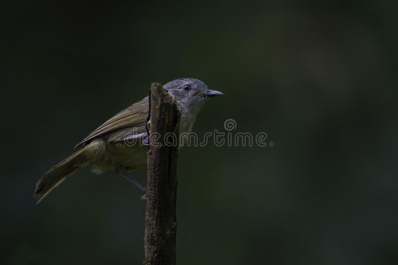 Brown Cheeked Fulvetta bird royalty free stock photography