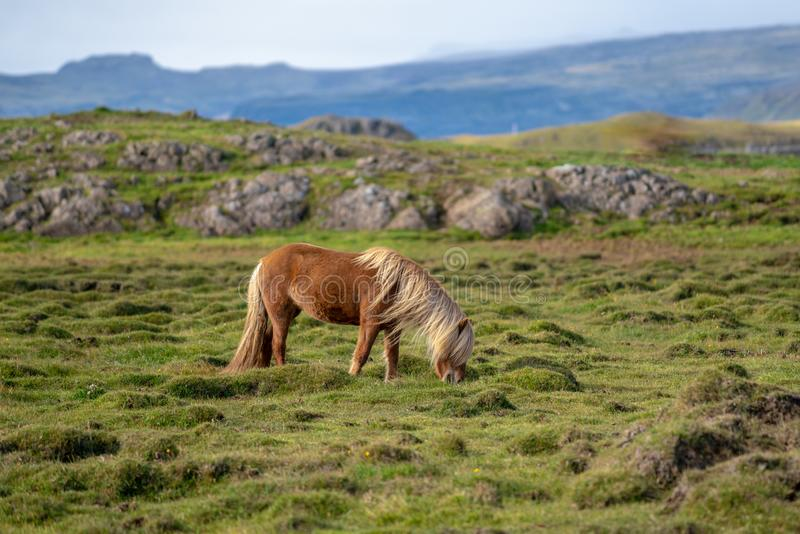 Icelandic horse grazing free in a green field stock photo