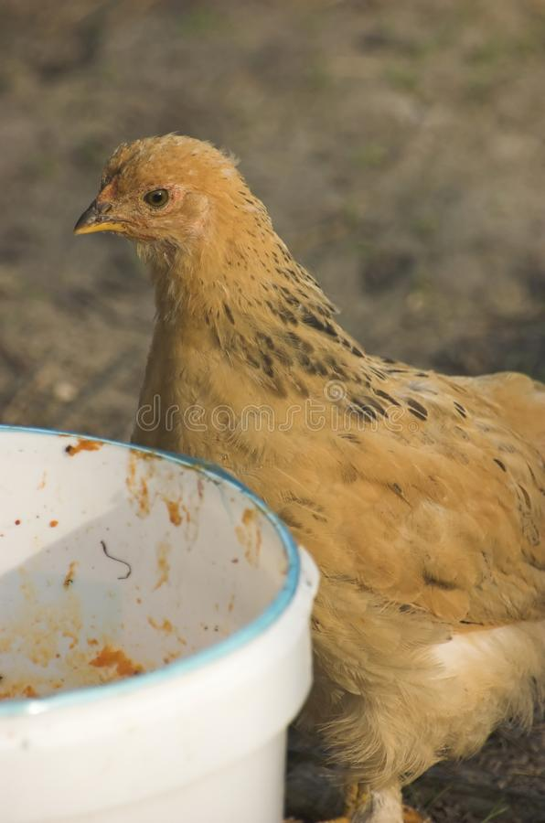Brown chicken royalty free stock photography