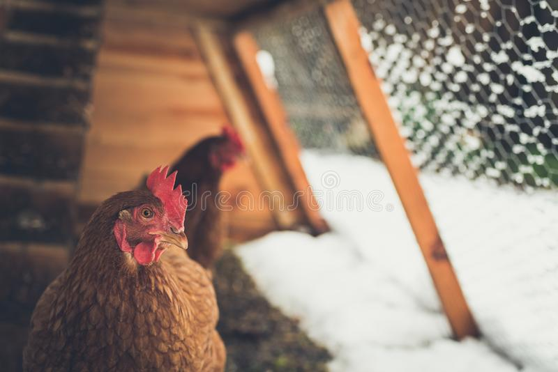 Brown chickens in home made chicken coup at the rural backyard,. In winter. Matte effect stock photography