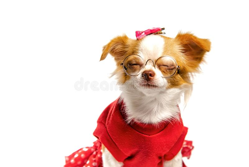 Brown Chihuahua dog female royalty free stock image