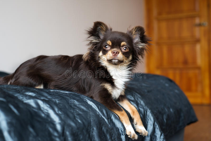 Brown chihuahua dog lying on bed royalty free stock image