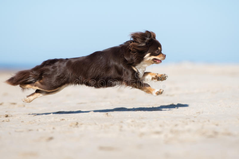 Brown chihuahua dog running on the beach. Brown longhaired chihuahua dog outdoors stock photography