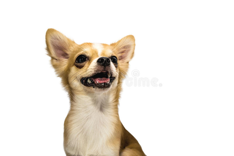 Brown Chihuahua puppy stock image