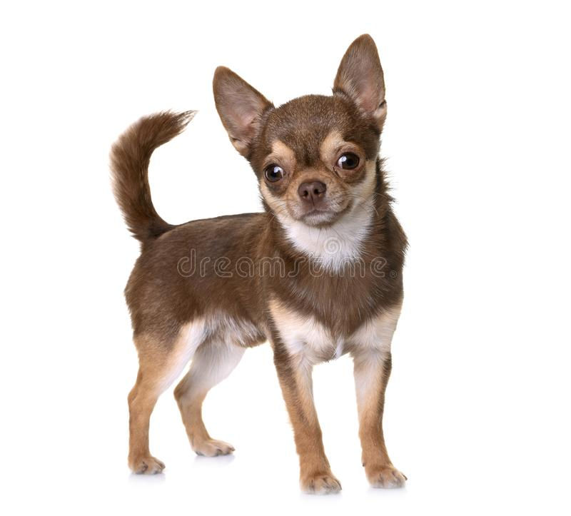 Brown chihuahua in studio stock photography