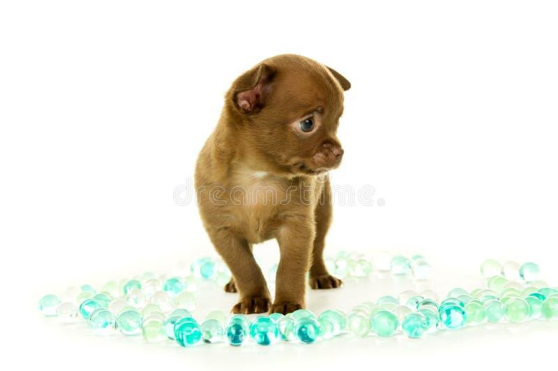 Brown-Chihuahuawelpe, der in den Perlen steht lizenzfreies stockbild