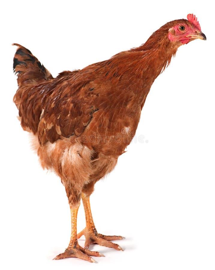 Brown chiken lizenzfreie stockfotografie