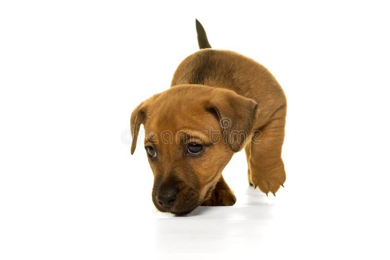 Brown, chiot bronzage de Jack Russel d'isolement dans le blanc photos stock