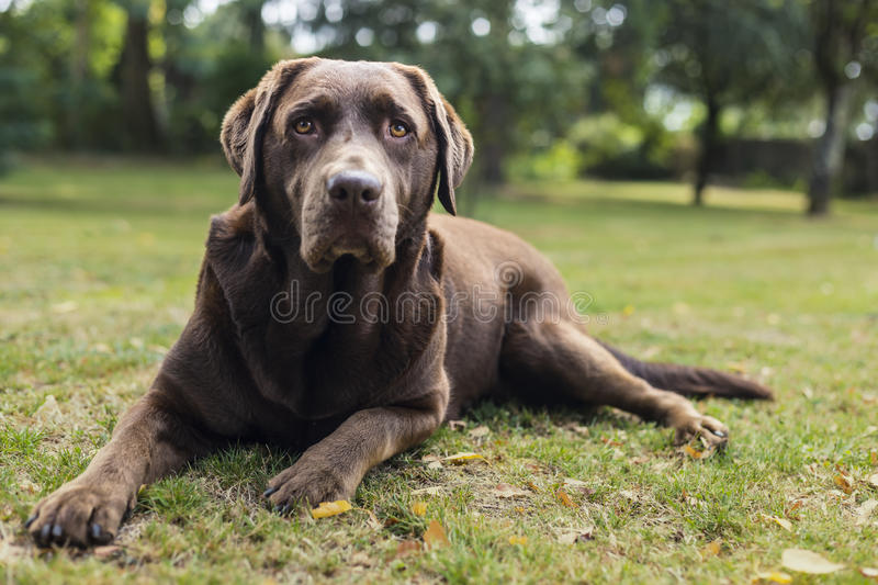 Brown Chocolate Labrador Dog. Laying down on the grass and looking at the camera stock photography