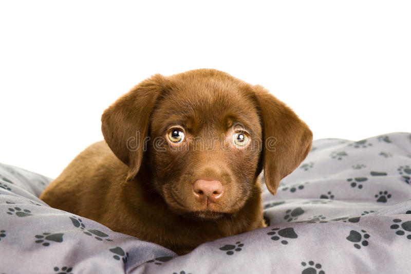 Brown chocolate labrador puppy on a grey pillow. With paw print, looking straight at the camera. The dog is tired and wants to sleep royalty free stock photo