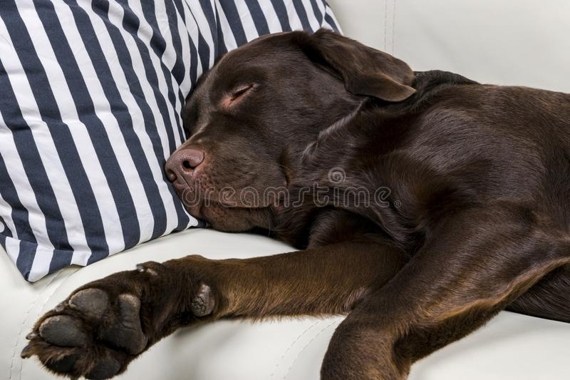Brown chocolate labrador retriever dog is sleeping on sofa with pillow. Sleeping on the couch. Young cute adorable tired labrador stock photos