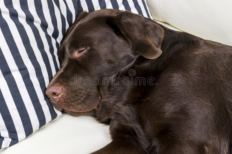 Brown chocolate labrador retriever dog is sleeping on sofa with pillow. Sleeping on the couch. Young cute adorable tired labrador royalty free stock image