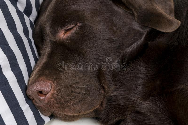 Brown chocolate labrador retriever dog is sleeping on sofa with pillow. Sleeping on the couch. Young cute adorable tired labrador. Retriever dog. Dog nose close royalty free stock photo