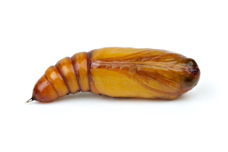 Brown chrysalis close-up royalty free stock photography