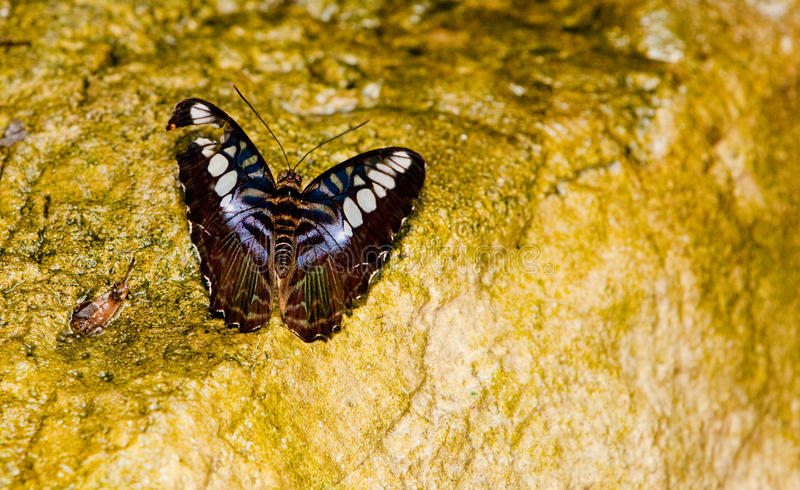 Brown Clipper Butterfly royalty free stock photography