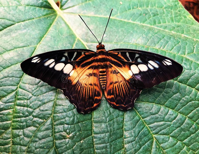 A brown clipper butterfly landing on a leaf stock image
