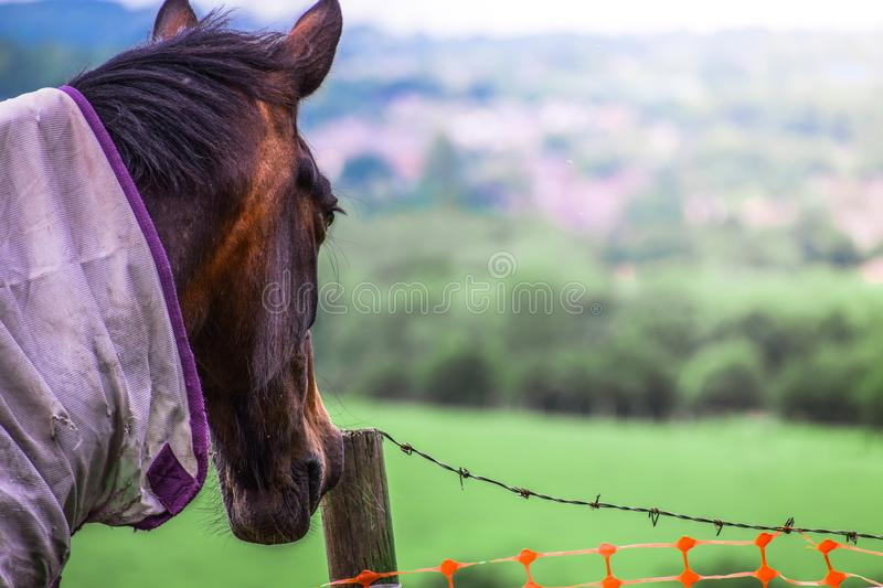 Closeup of Brown clothed Horse head Portrait looking at green field. At spring stock photos