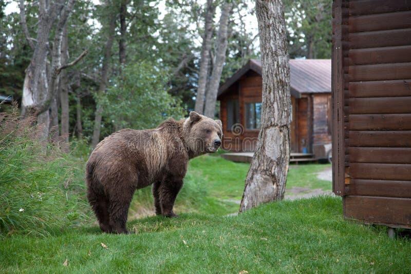 Download Brown Coastal Bear stock image. Image of national, wild - 21564957