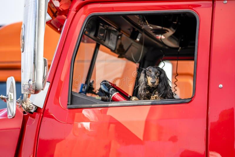 Brown Cocker Spaniel schaut aus dem Fenster des roten großen LKWs der Anlage heraus halb als zuverlässiger Fahrer- und Fahrerhaus stockfoto
