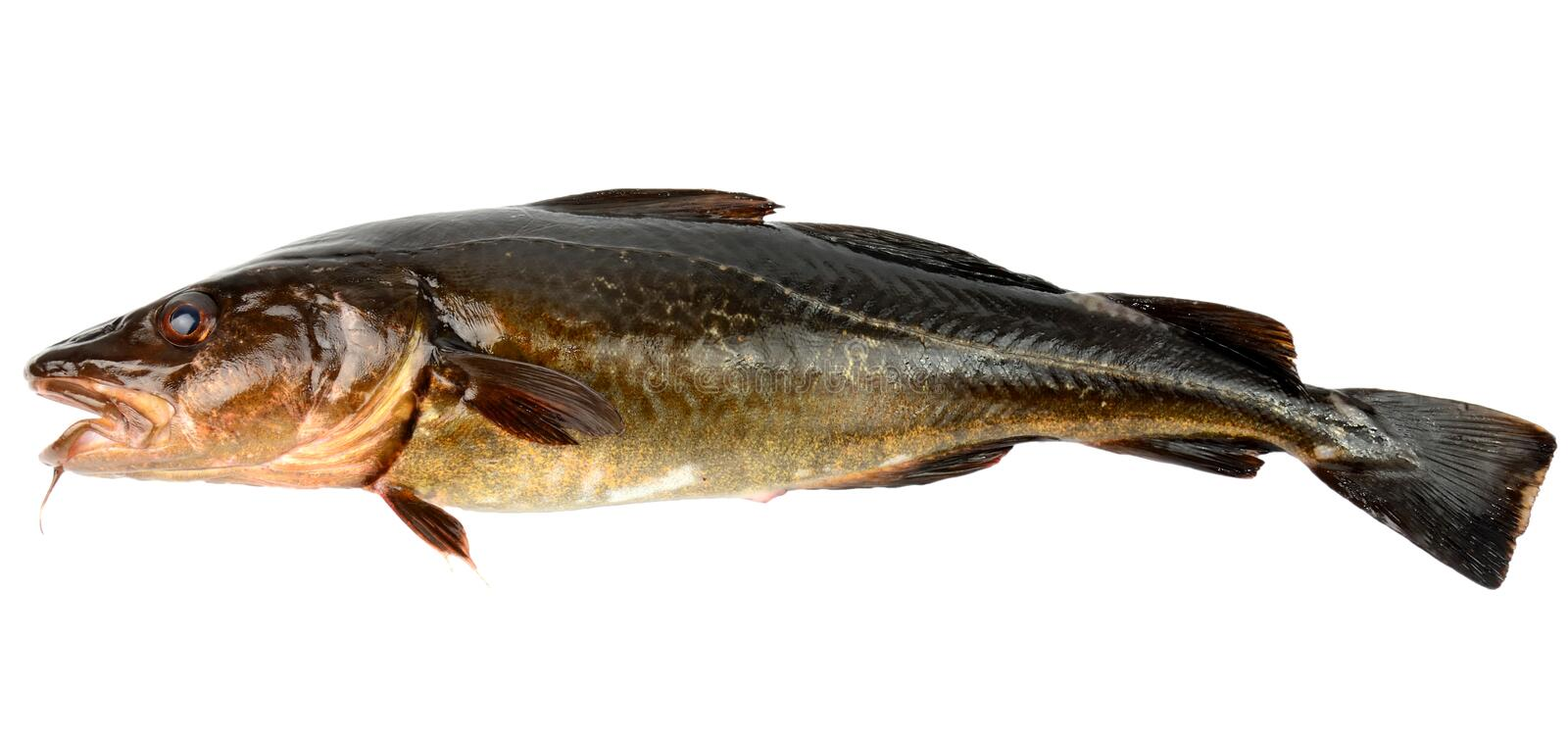 Download The brown cod stock photo. Image of atlantic, corrugated - 21936622