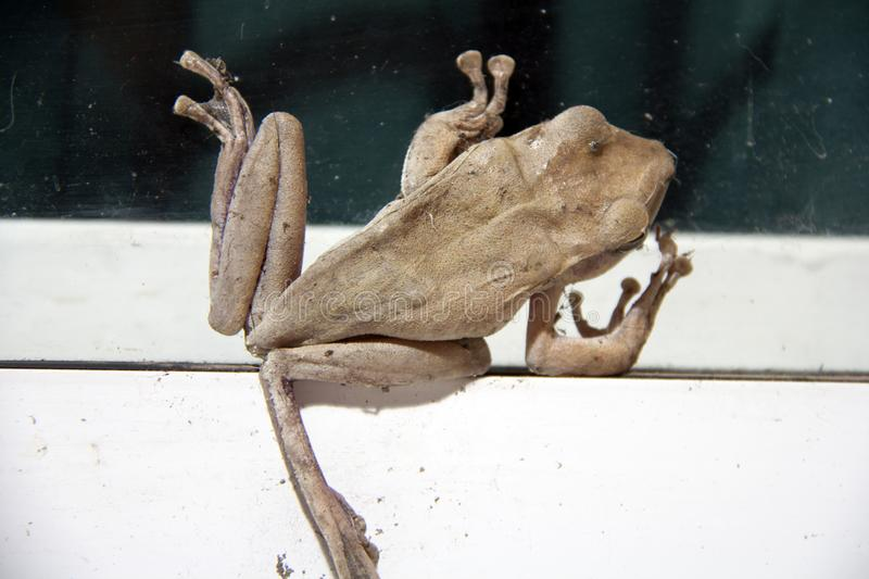 Brown color of Golden tree frog climb on the glass with white aluminum door. stock image