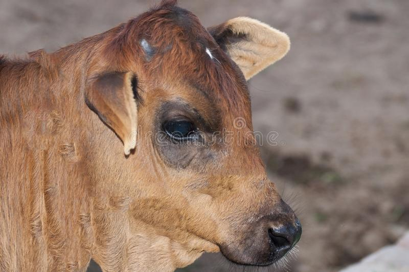 A brown colored calf in the farm royalty free stock photo